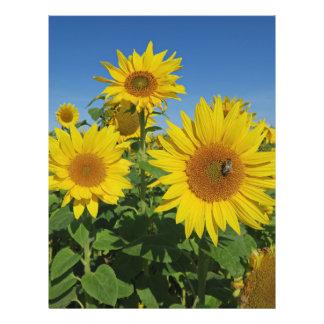 Flyer girassol na flor colorida do verão do céu azul