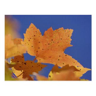 Folha de bordo do outono e céu azul, brancos cartão postal
