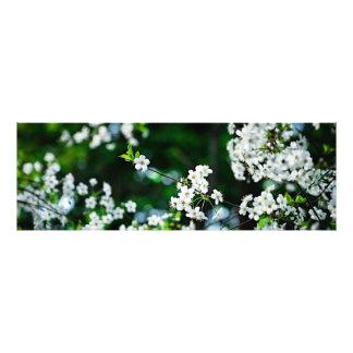 Folhas brancas do verde das flores de cerejeira impressão de foto