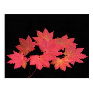 Folhas de bordo coloridas… cartoes postais