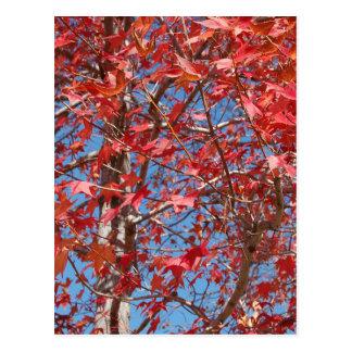 Folhas de bordo vermelhas cartões postais