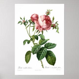 Foliacea do centifolia de Rosa Poster