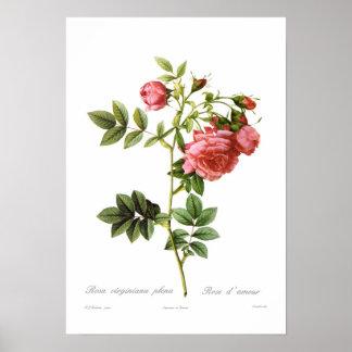 Forros do virginiana de Rosa Poster