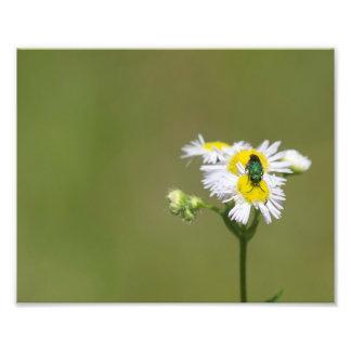 Foto Abelha verde na flor branca