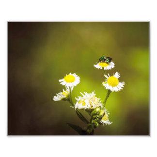 Foto Abelha verde nas flores brancas