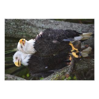 Foto americana da águia americana impressão de foto