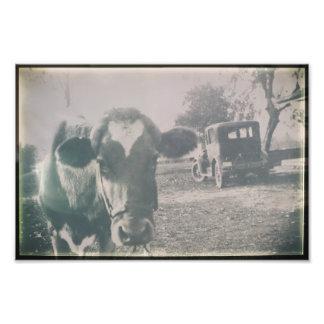 Foto Animal antigo preto & branco da vaca do gado de