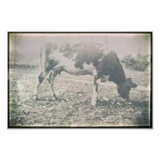 Foto Animal de fazenda antigo do gado da vaca que pasta