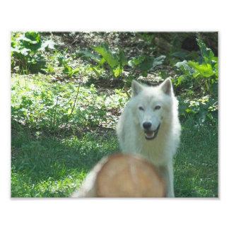 Foto ártica do lobo