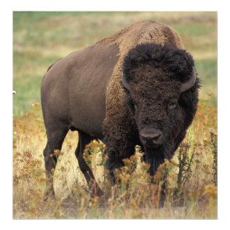 Foto Bisonte americano