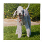 Foto bonita bonito do cão de Bedlington Terrier, p Azulejos