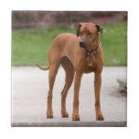 Foto bonita do cão de Rhodesian Ridgeback, present Azulejos