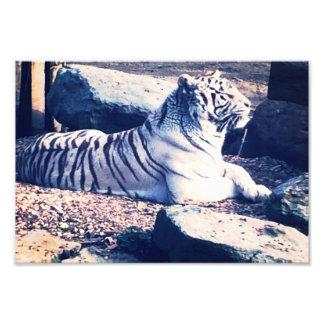 Foto branca do tigre