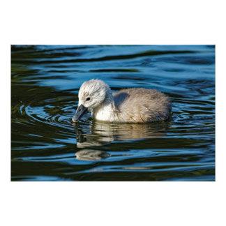 Foto Cygnet da cisne muda