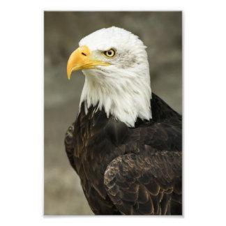 Foto da águia americana