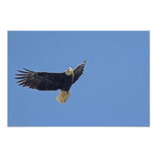 Foto da águia americana impressão de foto