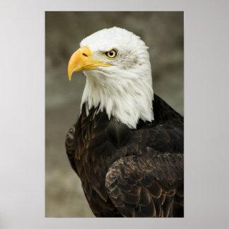Foto da águia americana pôsteres