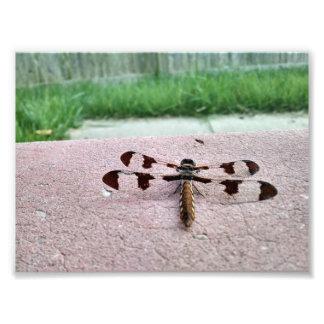 Foto da libélula do Whitetail