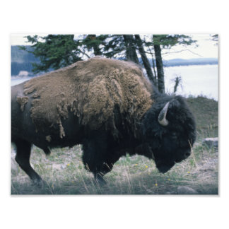 Foto De Yellowstone do bisonte fim acima e semi-pessoal