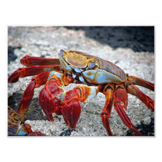 Foto do caranguejo impressão de foto