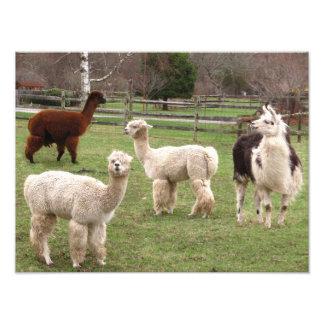 Foto do ~ do fio de mescla da alpaca impressão de foto