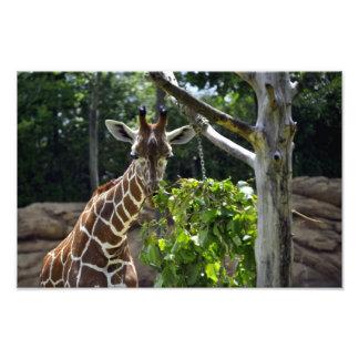 Foto do girafa impressão de foto