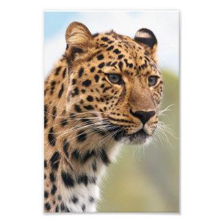 Foto do leopardo impressão de foto