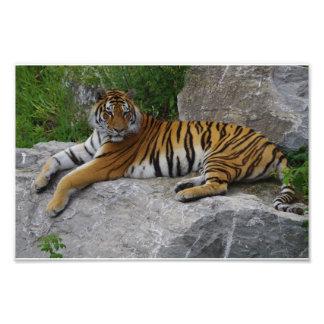 Foto do retrato de um tigre Siberian Impressão De Foto