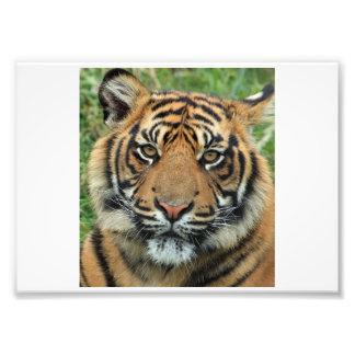 Foto dos animais selvagens do tigre impressão de foto