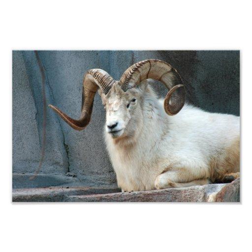 Foto dos carneiros de Dall