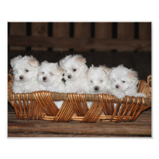 Foto Filhotes de cachorro malteses, filhote de