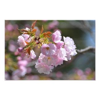 Foto Flor de cerejeira
