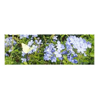 Foto Flores azuis do Plumbago da lavanda amarela da