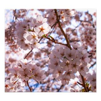 Foto Flores de cerejeira