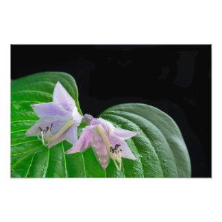 Foto Folha e flores da planta do Hosta