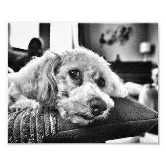 Foto Frise de Bichon no sofá
