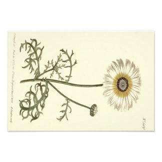 Foto Ilustração amarela Tricolor do crisântemo