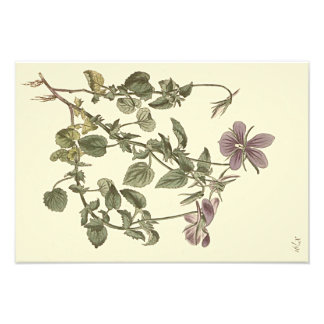 Foto Ilustração botânica da violeta Horned