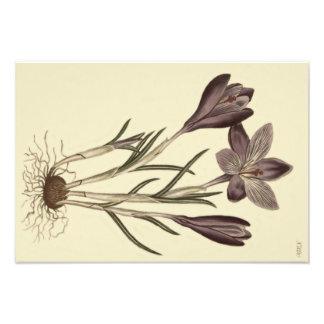 Foto Ilustração botânica do grande açafrão roxo do