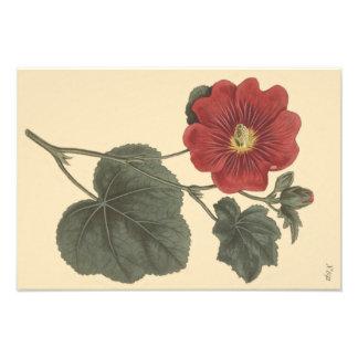 Foto Ilustração botânica do Hollyhock de Seringapatam