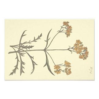 Foto Ilustração botânica do Valerian Siberian