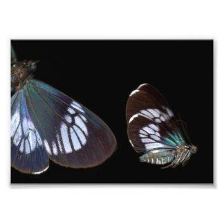 Foto Impressão azul de Pericopina: Borboleta