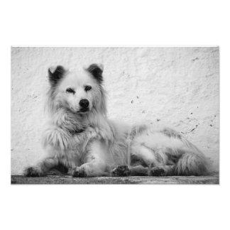 Foto Impressão - cão branco alerta em Santorini,