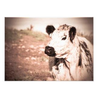 Foto Impressão da vaca