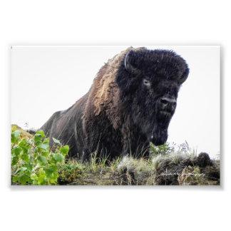 Foto Impressão do bisonte