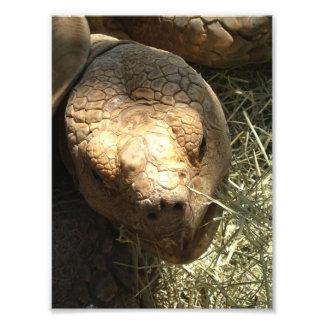 Foto Impressão Spurred africano da tartaruga