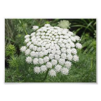 Foto Laço da rainha Anne branco da flor selvagem