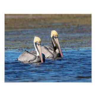 Foto pares 14x11 de pelicanos
