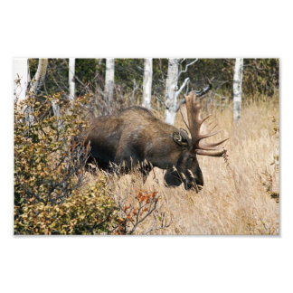 Foto Pastando alces de Bull