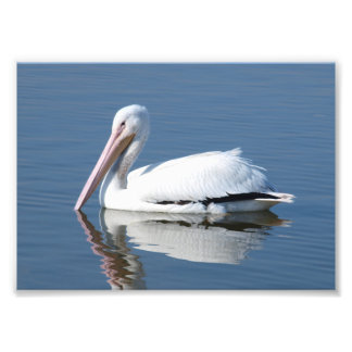 Foto Pelicano branco americano